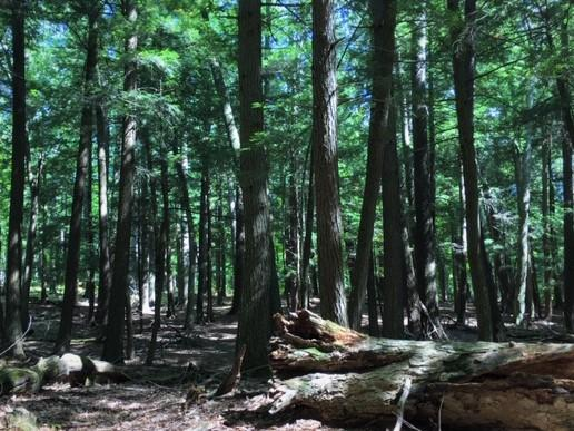 The old growth forest at Hartwick Pines State Park is one of just a few old-growth forests left in the Lower Peninsula.