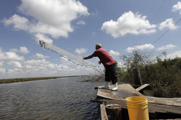 Edison Dardar, an American Indian, tosses a cast net for shrimp on the edge of Pointe- aux-Chenes wildlife management area, in Isle de Jean Charles, La., Friday, Sept. 23, 2011.