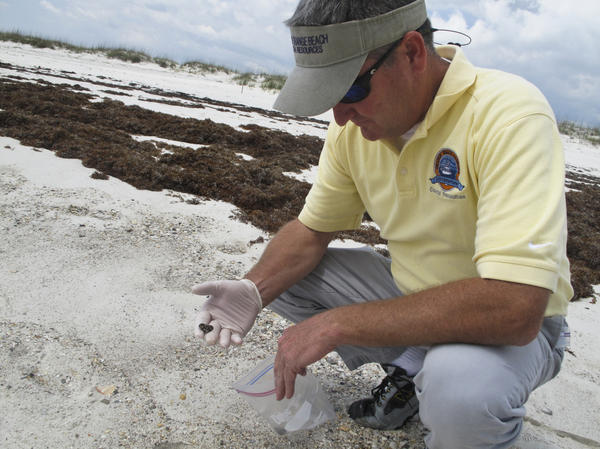 Orange Beach, Ala., Environmental Manager Phillip West holds a tar ball that has washed onto the area's sugar-white sand beaches. He says the clumps of weathered oil come in when the surf is rough — an indication that two years later, there's still oil lingering offshore.