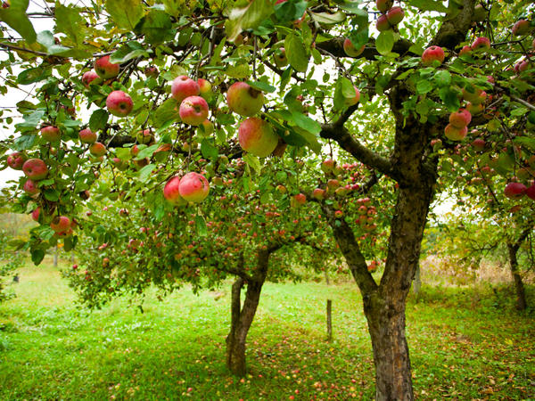 American apple growers realized that if they used dwarfing rootstocks and planted their trees closer together, they could increase their harvest of apples per acre by 200 to 300 percent.