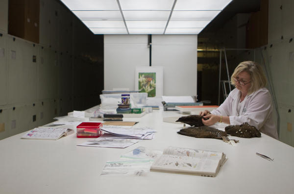The ornithologist works through the feathers of the stuffed birds to find one that matches her sample.