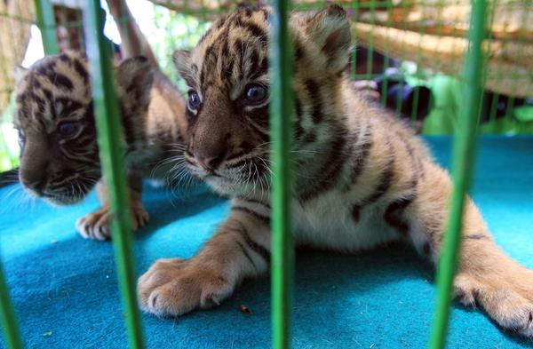 Sumatran tigers are among the animals whose habitats are under threat by logging in Indonesia.