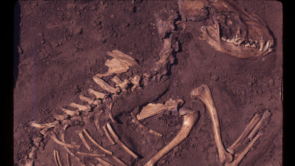 A dog burial in Greene County, Ill. This fossil dates back to about 8,500 years ago.