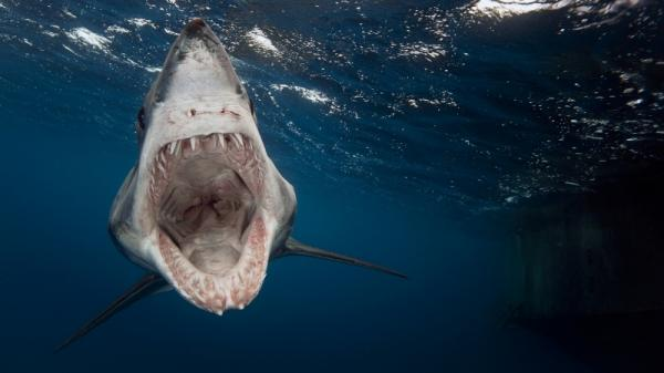 This mako shark looks like its ancient ancestors, but it's probably evolved to be even more terrifying.