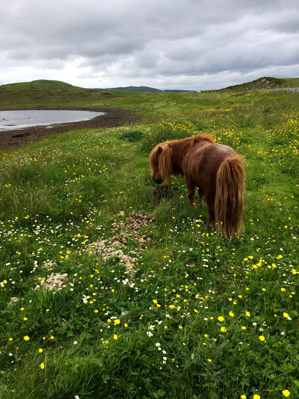 Shetland ponies have been a key part of life here for centuries. People originally used them to haul peat and plow fields. Their short, stout shape is well suited to the rough terrain and harsh weather of the Shetland Islands.