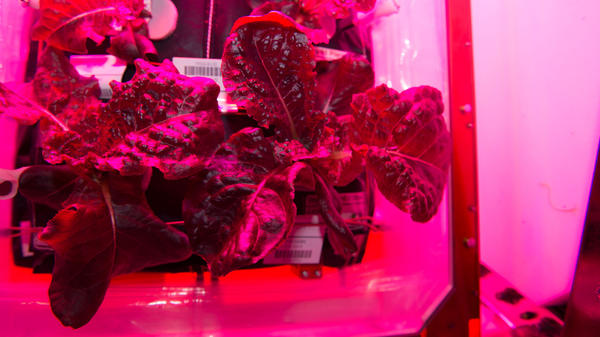 "This NASA image shows ""Outredgeous"" red romaine lettuce from the plant growth system that tests hardware for growing vegetables and other plants in space on the International Space Station."