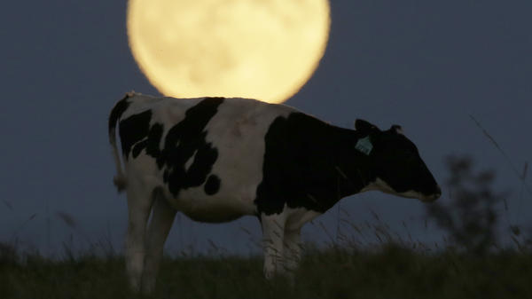 """Putting the """"moo"""" into super moon: the full moon rises behind a cow in Kansas last night, before a full lunar eclipse."""
