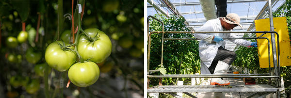 Scenes from inside greenhouse No. 2 at Wholesum Farms Sonora.