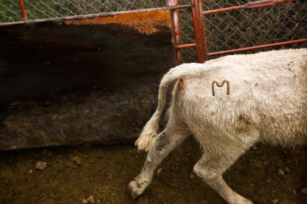"""All of the Mexican cattle are branded with an """"M"""" on their right hip."""