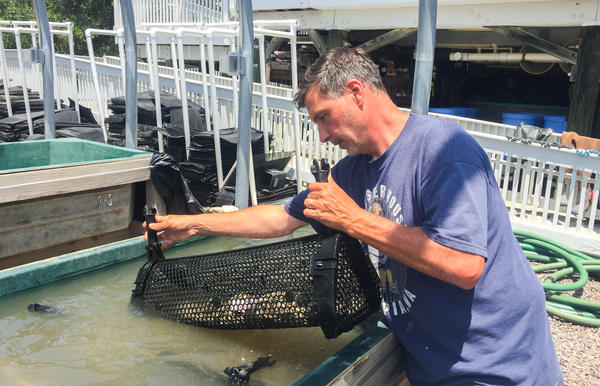 "Auburn University marine scientist Bill Walton, aka ""Dr. Oyster,"" spawns oysters at the Dauphin Island Sea Lab on the Alabama coast."
