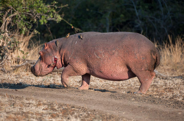 A hippo walks through the South Luangwa National Park in eastern Zambia, where an anthrax outbreak occurred in 2011.