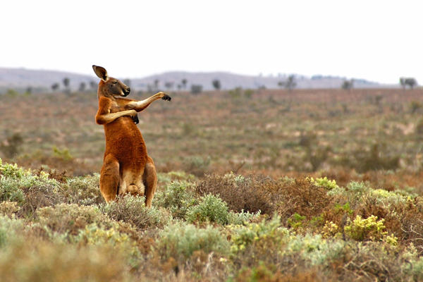 "In a photo titled ""Kung Fu Training — Australian Style,"" a red kangaroo starts his day with some martial arts in Fowlers Gap, Australia."