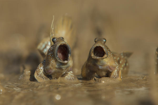 Two mudskippers sing their hearts out on tidal mudflats in Krabi, Thailand.