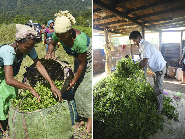 Left: Workers help each other getting all the tea leaves into large bags, which are then taken to a cottage to dry. Right: A farm hand airs the picked tea leaves, which will then be transported from the cottage to Tenzing's home, an hour away, for processing.