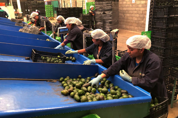 Line workers sort freshly cut avocados at Frutas Finas packing plant in Tancitaro. Forty-five percent of the world's avocados come from Mexico. Eighty percent of avocados consumed in the U.S. come from Mexico, the majority from the small mountain town of Tancitaro.