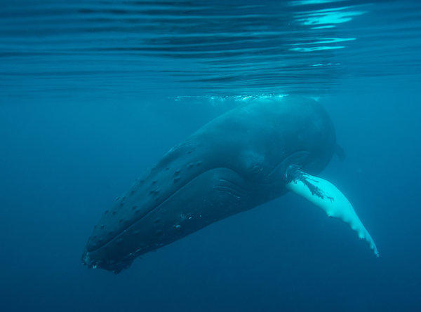 Humpback whales are among the animals that could be affected by seismic surveys for oil and gas.