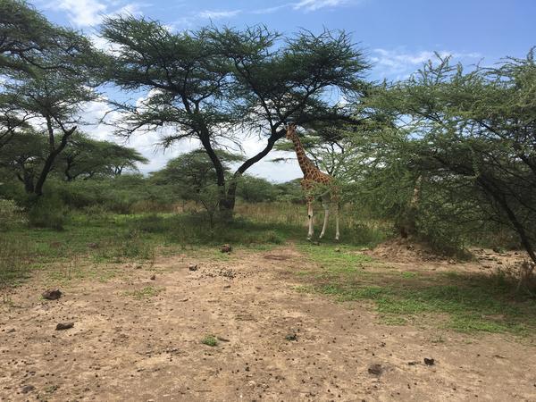 One of the six giraffes at the Ruko Conservancy in Kenya's Lake Baringo area.