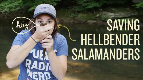 Saving Hellbender Salamanders