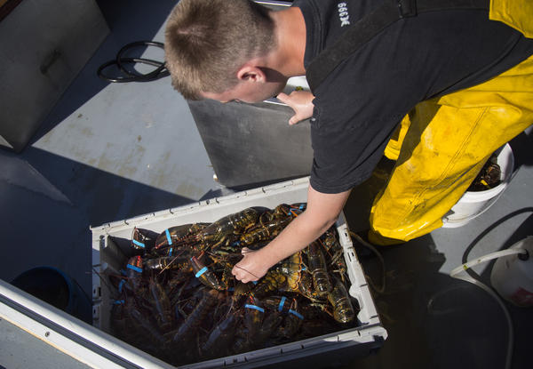 Austin Steeves packages lobsters after hauling traps on his grandfather's boat in Casco Bay, Portland, Maine.