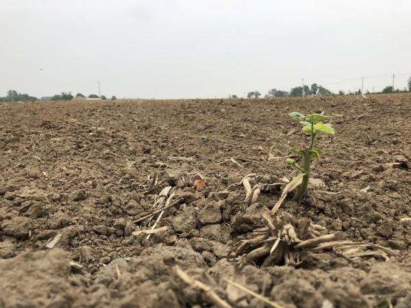 A single soybean plant grows in a field in the village of Sandaogou, China.