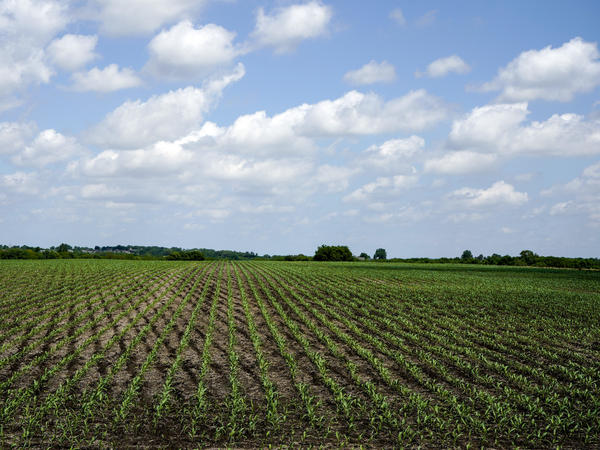 Here, young corn plants grow in a field in rural Ashland, Neb. Thursday afternoon the House passed its version of the farm bill, including controversial work requirements for many SNAP recipients.