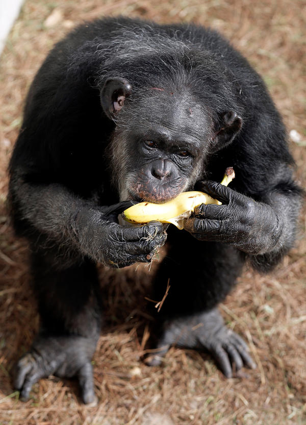 Queenie arrived at Chimp Haven in 2014. The private, nonprofit sanctuary has cared for well over 300 chimpanzees since its inception, and is currently home to more than 200.
