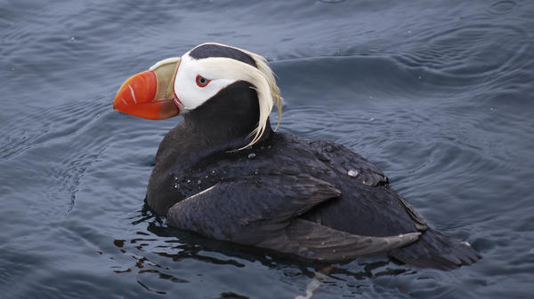A tufted puffin on Prince William Sound, Alaska. U.S. Geological Survey experts found the seabird population density declined 2 percent annually from 1975 to 2012 in the northeast North Pacific.