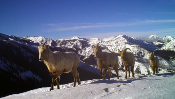 Migration corridors depend on maintaining both habitat connectivity and animals' knowledge of the landscape, demonstrated by these migrating bighorn sheep in Park County, Wyo.