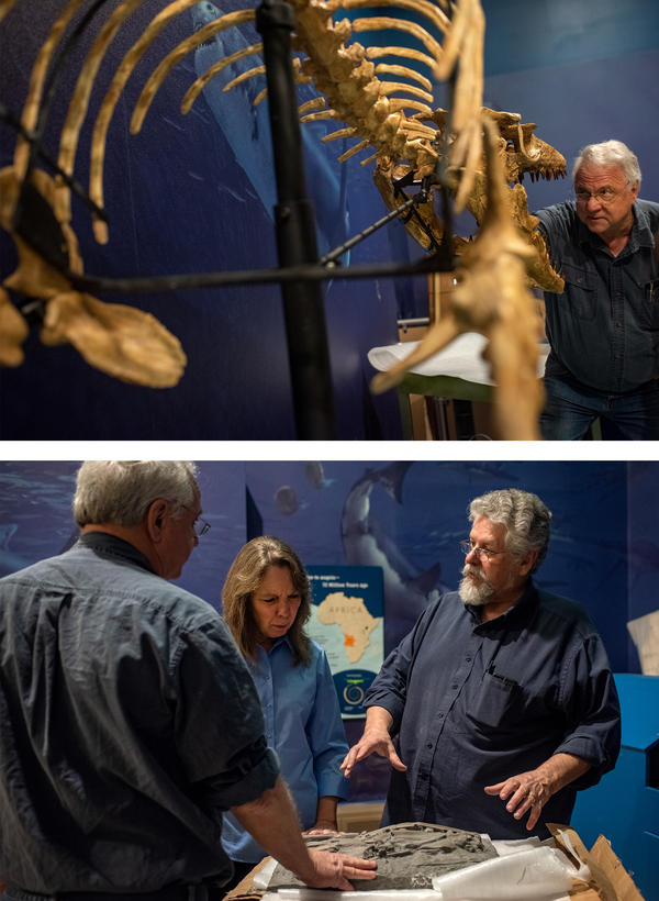 (Top) Louis Jacobs, professor emeritus of paleontology at SMU and co-curator of the Smithsonian exhibition, checks the skull of the mosasaur fossil replication. (Bottom) Michael Polcyn talks with Jacobs and Smithsonian project manager Jill Johnson about the display of fossils excavated along the coast of Angola.