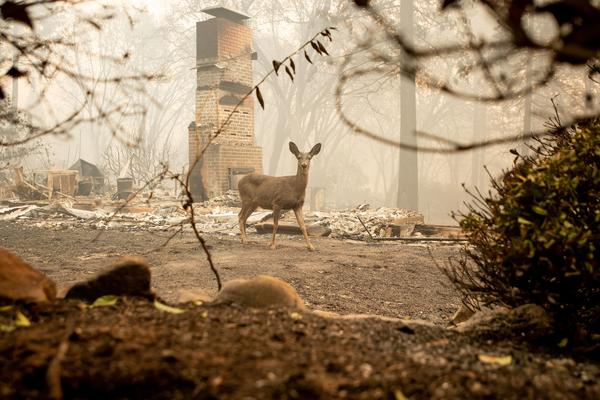 A deer looks on from a burned residence after the Camp fire tore through the area in Paradise.
