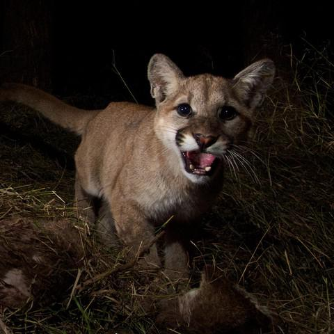 <p>A&nbsp;10-month-old cougar is startled by a&nbsp;trail camera in the California mountains.&nbsp;The Oregon Department of Fish and Wildlife includes juvenile cougars in their total population estimates.</p>