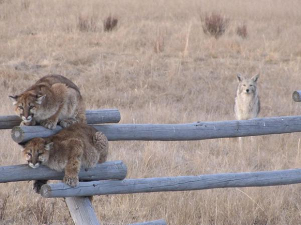 <p>Two juvenile cougars hide on a fence to avoid territorial coyotes in Wyoming. Cougar kittens rarely survive to adulthood.</p>