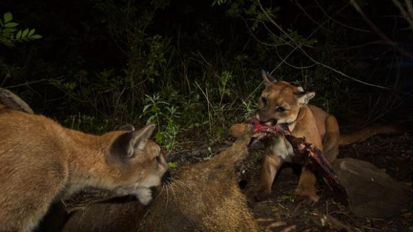 <p>A radiocollared cougar shares a kill with another cat, thought to be her cub. Cougars have been found to share kills with related and non-related cats, though they rarely eat at the same time.</p>