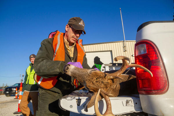 Missouri Department of Conservation staff test a deer for chronic wasting disease on  on Nov 10. in Weldon Spring .