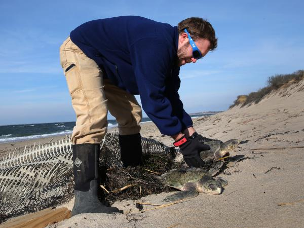 "Michael Sprague with the Mass Audubon's turtle rescue program helps recover a stranded sea turtle in December 2014. In recent days, more than 200 turtles have washed up in Cape Cod because of a phenomenon known as ""cold-stunning."""