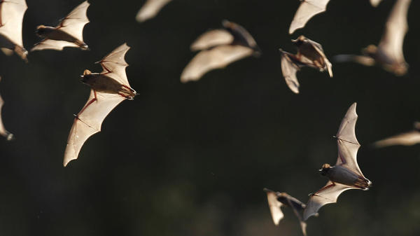 The Bracken Bat Cave outside San Antonio is home to millions of bats. Here, a few of them emerge from the colony in 2011.
