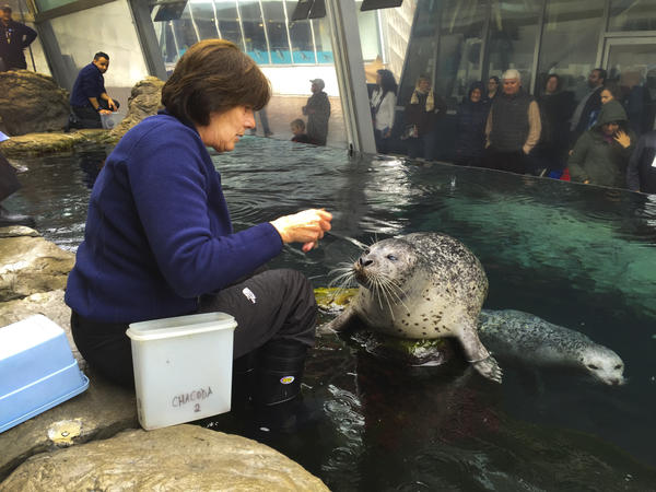 "Chacoda, an Atlantic harbor seal at the New England Aquarium, is so good at vocalizing that he can mimic his teacher, Kathy Streeter, when she says, ""How are you?"""
