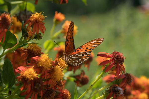 A Gulf fritillary butterfly perches on a flower at the National Butterfly Center, which is home to several endangered plants and threatened animals.