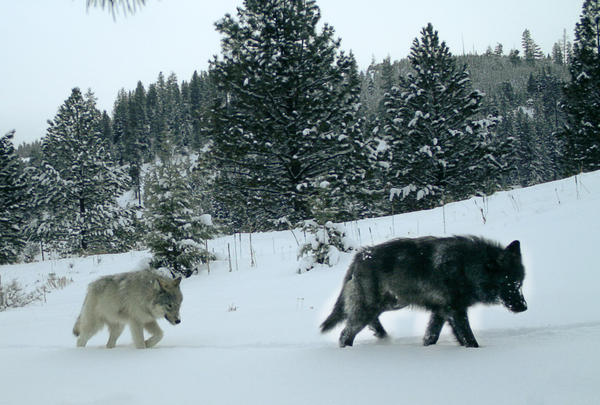 Gray wolves from the Middle Fork pack in Wallowa County, Oregon.