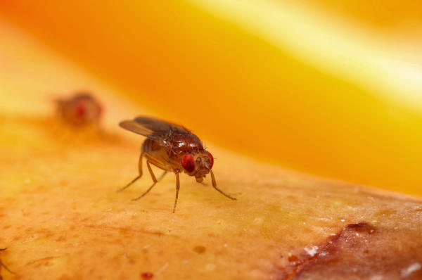 <em>Drosophila melanogaster</em>, the common fruit fly, is a mainstay of genetics and biology labs.