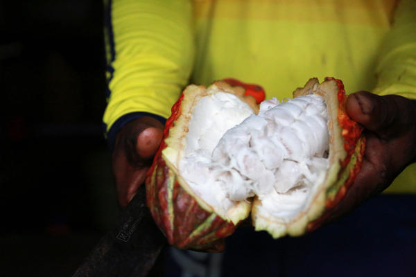 Fidel Palacios holds a cacao fruit sliced open to show the sweet, white pulp inside. Cacao farmers like him remove the seeds from the pulp to ferment and dry them. Later they get used for chocolate products made by Bogotá-based Late Chocó, owned by Fidel's brother, Joel Palacios.