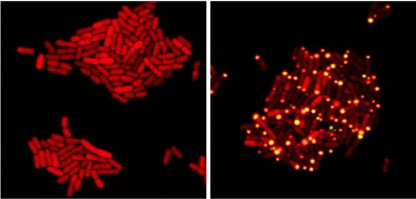 In these images, <em>E. coli</em> bacteria harbor proteins from a bacteria-killing virus that can eavesdrop on bacterial communication. At left, one protein from the virus has been tagged with a red marker. At right, the virus has overheard bacterial communication indicating the bacteria have achieved a quorum; it sends its protein to the poles of the cell (yellow dots).