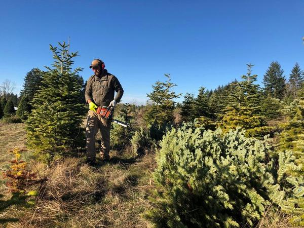 <p>Grant Robinson cuts pesticide-free Christmas trees on a farm near Molalla, Ore.</p>