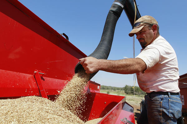 John Honeywell directs a mixture of seed wheat and rye into a grain drill to plant winter wheat for cattle grazing near Orlando, Okla., Wednesday, Sept. 12, 2012.