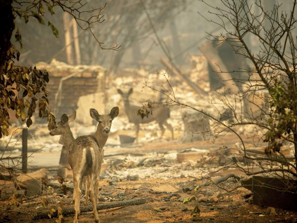 A deer walks past a destroyed home on Orrin Lane after the wildfire burned through Paradise, Calif. 14,000 residences were destroyed in the deadliest and most destructive wildfire in state history.