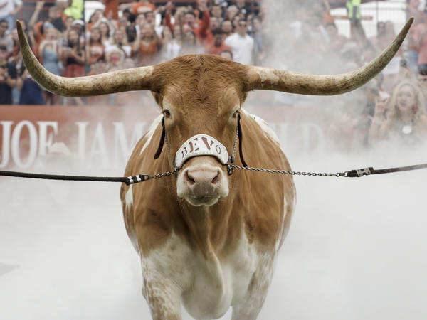 The Texas Longhorns mascot enters the stadium last September before a game in Austin, Texas.