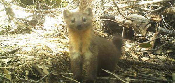 <p>Humboldt martens are relatives of minks and otters that live in old-growth forests along the coast of Southern Oregon and Northern California.</p>