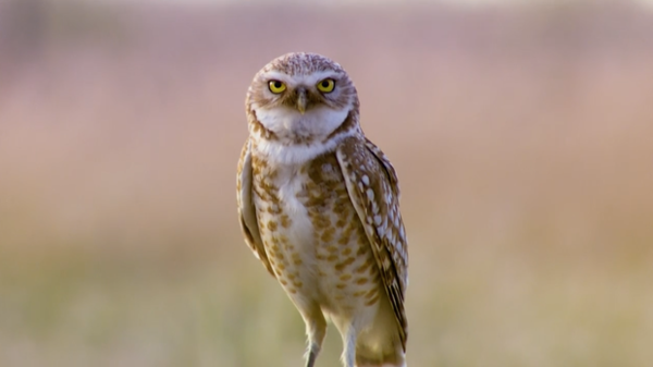 <p>Burrowing owl populations are declining each year at a rate of 2 to 3 percent.</p>