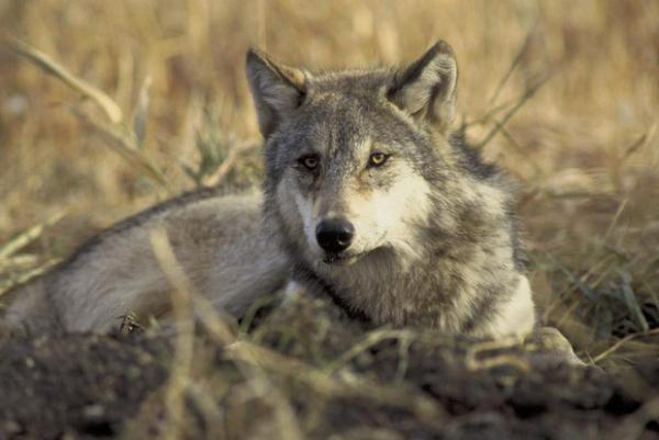 <p>A resting gray wolf.</p>