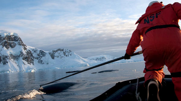 Marine biologist Ari Friedlaender tags whales as part of his research on humpback whales in the Antarctic.